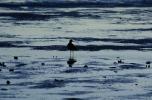 Foraging Shorebirds